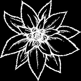 Illustration de la fleur edelweiss.